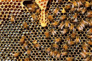 ape_alveare_apicoltura
